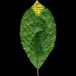 Prunus avicum #1