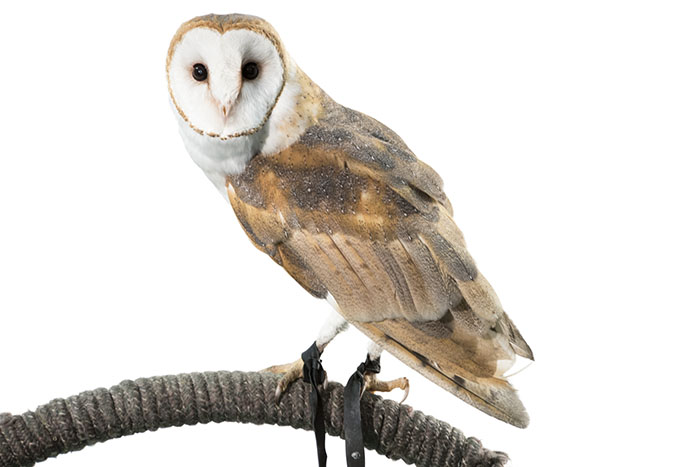WIldwings_83042-1394163 - Zgoda, Teresa - Zgoda_BarnOwl