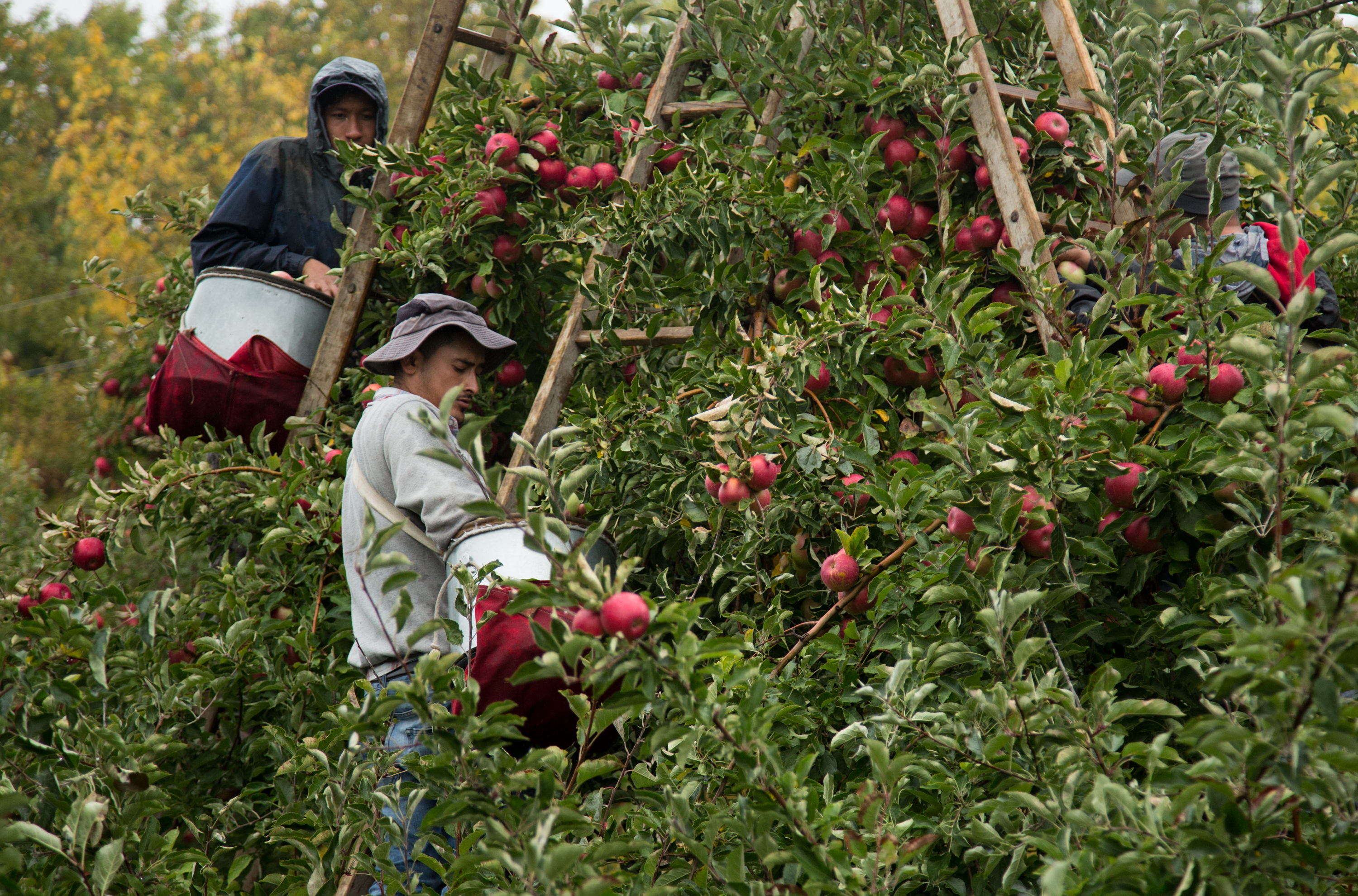 Marco Antonio Hernandez L˜pez (lower left) picks apples with fellow workers at Brown's Farm in Waterport, N.Y. on Oct. 17, 2016. The farm finds workers through a Florida east coast agency, which has a rigorous interview process and requires a clean history as well as a respectful and responsible charisma.